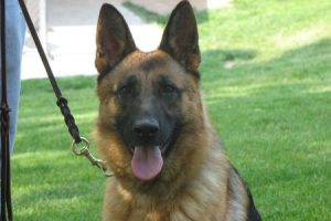 Purebred Female German Shepherds for Sale in Nebraska