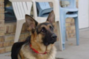 Male German Shepherd for sale in Nebraska