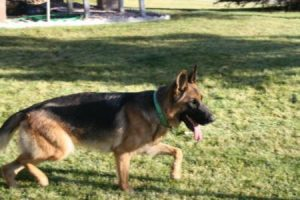 Female German Shepherds for Sale in Nebraska