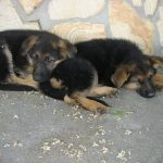 German Shepherd Pups for Sale Nebraska