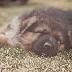 German Shepherd Breeder Nebraska