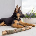 What to Do When You Bring Home Your German Shepherd Puppy