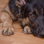 How to Care for Your German Shepherd During the COVID-19 Outbreak