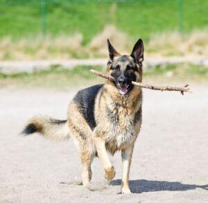 How to Exercise Your German Shepherd